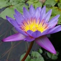 Bibit Bunga Teratai Ungu Siap Tanam (Bukan Benih)