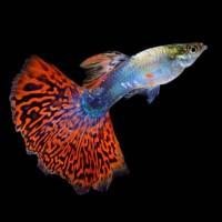 ikan guppy ( fire tail )
