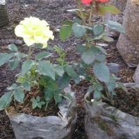 jual tanaman bunga mawar