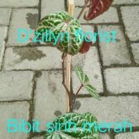 Bibit daun sirih merah (herbal)
