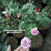 Jual Pohon Mawar | Jual Bunga Mawar merah, pink, putih, batik, orange