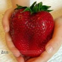 Benih Biji Buah Strawberry Besar (Giant Strawberry Seeds)