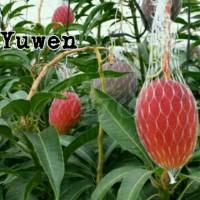 Bibit tanaman buah mangga yuwen.. Asal jepang