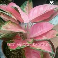 bibit bunga aglonema Red kocin