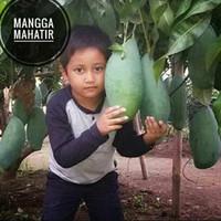 Tanaman bibit buah Mangga Mahatir