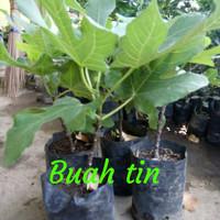bibit tanaman buah tin green yordan