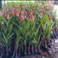 tanaman heliconia/pohon pisang-pisang'an hias