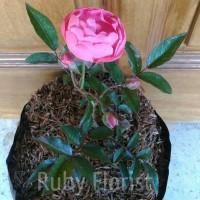 Tanaman Climbing Rose Pink Bunga Kecil