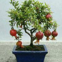 tanaman delima mini ( cocok utk bahan bonsai )