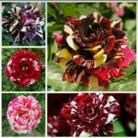 Bibit Bunga Mawar Batik Cantik nan Elok