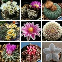 Biji Benih Bibit Bunga Kaktus/Succulent Cactus Mix