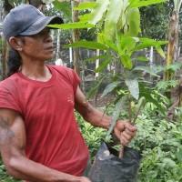 Bibit Mangga kelapa, Buah Super Jumbo dan Nikmat