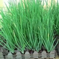 100 Benih Biji Bibit Sayuran Bawang Daun Fragrant