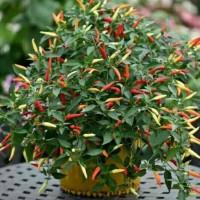 Benih Cabe Sparkler Pepper -Isi 5 Biji