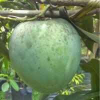 bibit tanaman mangga kelapa super unggul besar|bibit buah manga kelapa