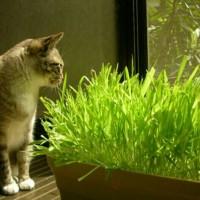 makanan Sehat Untuk Kucing