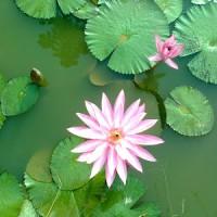 Bunga teratai | tanaman air