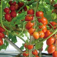 isi 20 Benih Biji Bibit Tomat Unggul Lokal Tomato Seeds
