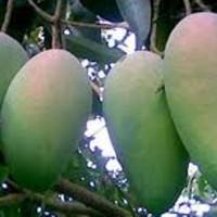 bibit mangga arumanis kualitas super hasil melimpah rasa buah manis