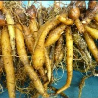500grm Temu kunci segar antioksidan alami obat herbal banyak khasiat