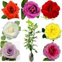 bibit bunga mawar bandung/mawar batik