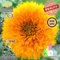 FLOWER - Benih Bunga SUNFLOWER  Teddy Bear USA Bibit bunga matahari