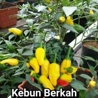 Bibit Benih Biji Yellow Candle kuning cabe cabai unik