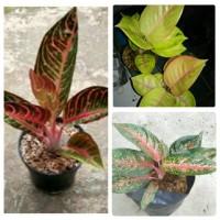 bibit bunga aglonema paket 3 batang (red sumatra, golden siam,hot lady