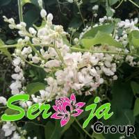 Bibit Tanaman Rambat Air Mata Pengantin Bunga Putih