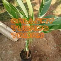 Tanaman Heliconia Varigata | Pisang pisangan