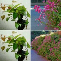 bibit tanaman bunga air mata pengantin