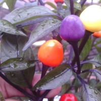 [Isi 7 Biji] Benih Biji Cabe Bolivian Rainbow