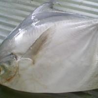 Katalog Ikan Bawal Katalog.or.id