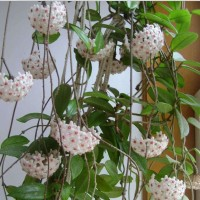 bibit tanaman bunga anggrek hoya putih