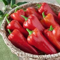 Benih / BIbit / Seed Cabe Merah Italian Sweet Pepper