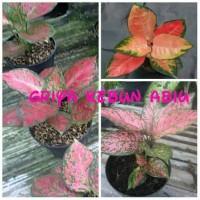 bibit bunga aglonema 3 batang lady valentine, dut anjemany, red chocin