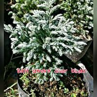 Bibit pohon cemara silver
