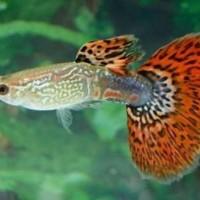 ikan gapi guppy gupi gupy murah aquascape aquarium akuarium hias kecil