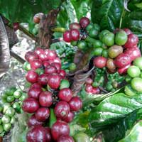 Green bean Kopi fine Robusta jangkat merangin jambi