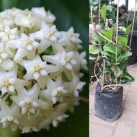 Tanaman hoya bunga putih
