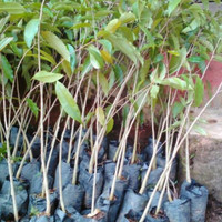 Tanaman Bibit Pohon Gaharu Super