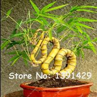 Biji Benih Tanaman Bambu Naga Bonsai / dompet / dupa / minyak wangi