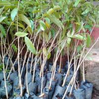 Benih Bibit Tanaman 4 Bibit Tanaman Pohon Gaharu Super Unggul