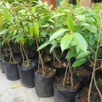 Bibit Durian Montong Kaki 3 Siling