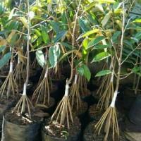 Bibit tanaman buah durian montong merah kaki10