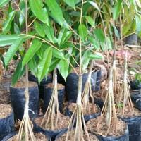 Bibit tanaman buah durian musangking kaki 10..
