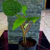Bibit tanaman daun sirih hijau