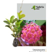 Bibit Tanaman Hias Bunga Rambat Hoya Pink