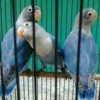 lovebird mangsi balibu