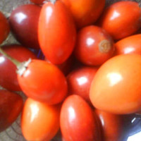 Biji/benih/bibit buah Sawo kecik